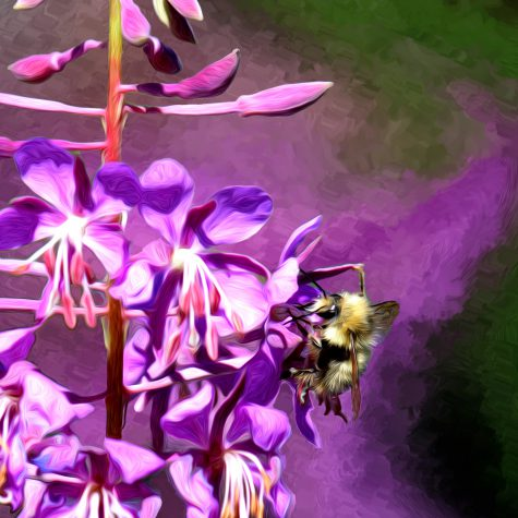 Mount Baker Fireweed and Bee